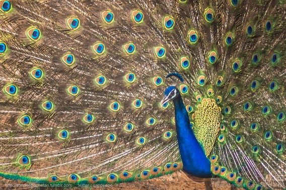 The fully spread out feathers of a peacock with all shades of blues and greens.