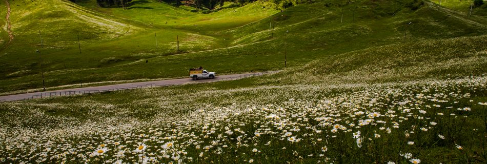 A rare sight, the meadows of Gulmarg minus the snow covered covered in white and yellow blooms on the green grass.