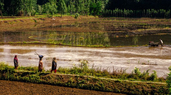 Rice farming in Kashmir, seen from the train journey from Srinagar to Anantnag